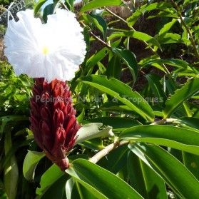 Costus speciosus (syn. Cheilocostus speciosus) - Gingembre fleur