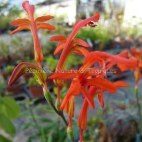 Watsonia bulbifera