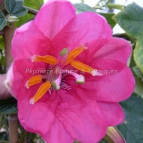 Passiflore antioquiensis - Passiflore rose fushia