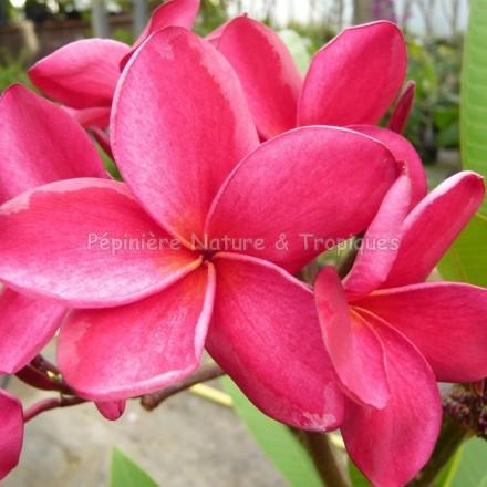 Plumeria rubra ' Desert Sunrise' - Frangipanier rose très foncé