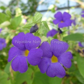 Thunbergia battiscombei