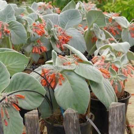 Sinningia leucotricha - Edelweiss du Brésil