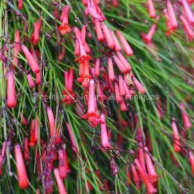 Russelia equisetiformis Rouge