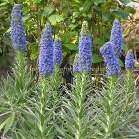 Echium candicans (syn.Echium fastuosum) - Vipérine