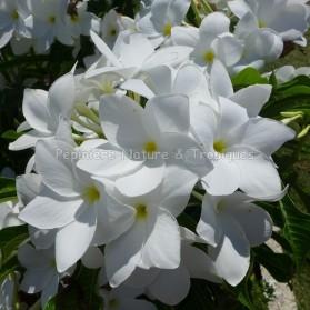Plumeria pudica - Frangipanier blanc