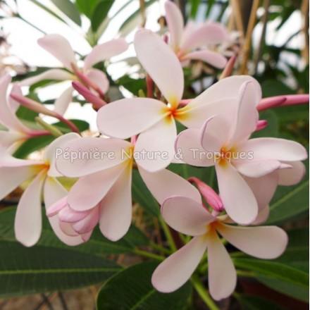 Plumeria obtusa 'Dwarf Pink Singapore' - Frangipanier rose et blanc