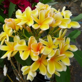 Plumeria rubra 'Afrique' - Frangipanier jaune
