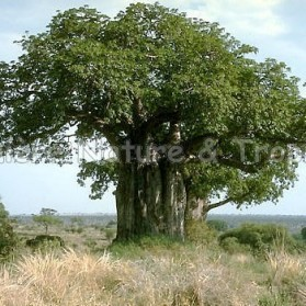 Adansonia digitata - Baobab africain