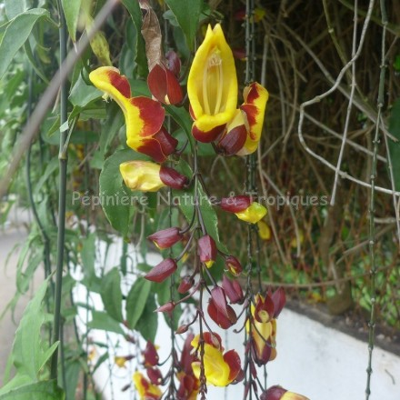 Thunbergia mysorensis - Liane de Mysore