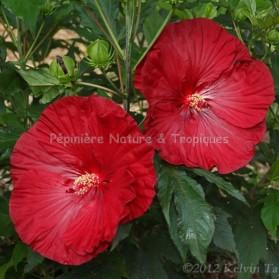 Hibiscus x moscheutos 'Cranberry Crush'- Hibiscus des Marais