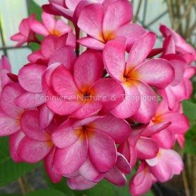Plumeria rubra 'Pixie Dust' - Frangipanier rose