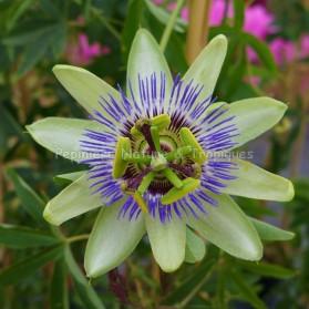 Passiflora caerulea - Passiflore rustique bleue et blanche