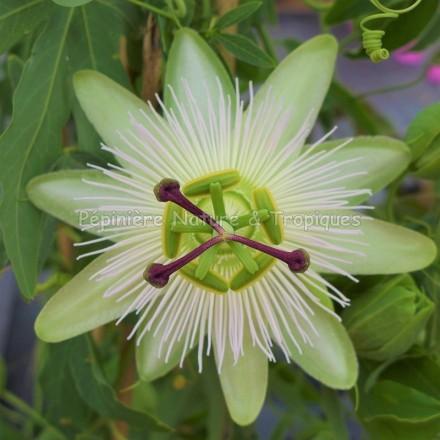 Passiflora 'Avalanche' - Passiflore blanche