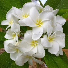 Plumeria rubra 'Scentsational' - Frangipanier blanc à cœur jaune