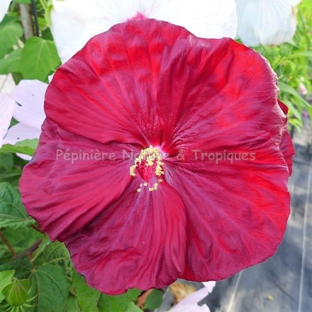 Hibiscus x moscheutos 'Robert Fleming'
