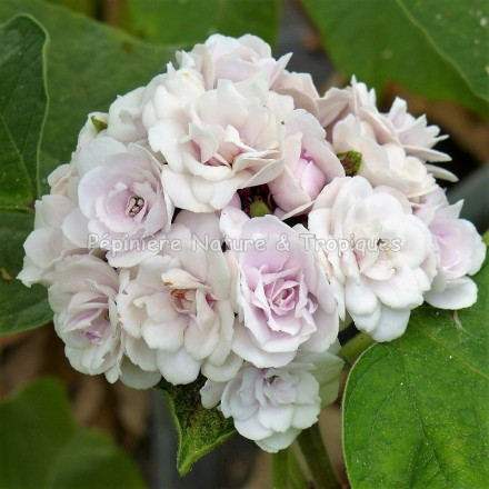 Clerodendrum fragrans - Clerodendron fragrans