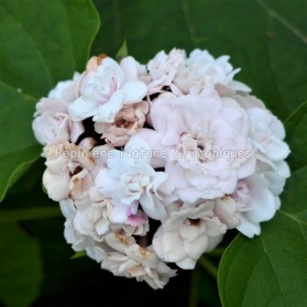 Clerodendrum fragrans 'Flore Pleno' - Clerodendron Blanc et Rose