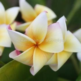 Plumeria rubra 'Honey Pot' - Frangipanier jaune et blanc