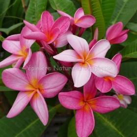 Plumeria rubra 'Rosy Dawn' - Frangipanier Rose et Blanc