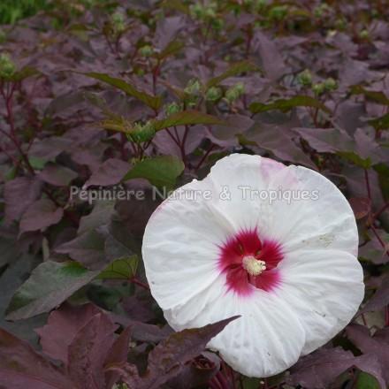 Hibiscus x moscheutos 'Crown Jewel'