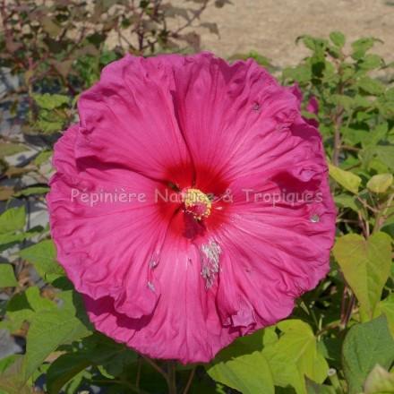 Hibiscus x moscheutos 'Jazzberry Jam'