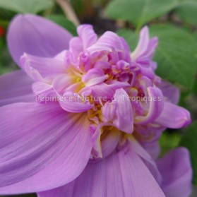 Dahlia imperialis 'Double Or Nothing' - Dahlia double mauve
