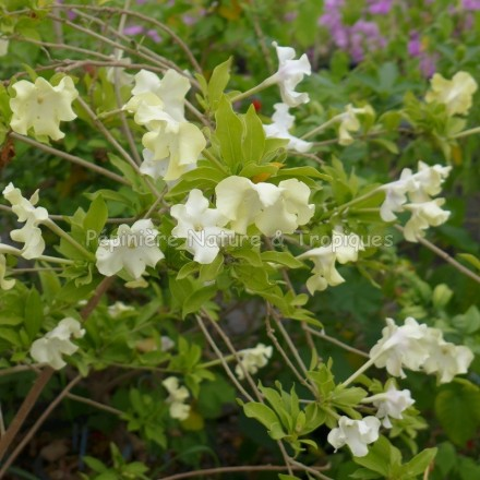 Brunfelsia lactea