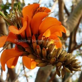 Erythrina caffra - Erythrine caffre