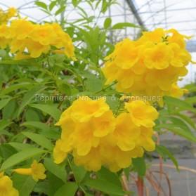 Tecoma castaneifolia