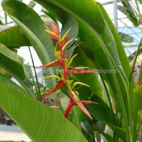 Heliconia schiedeana - Balisier