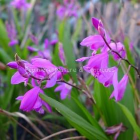 Bletilla striata - Orchidée Rustique