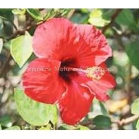 Hibiscus sabdariffa - Bissap ou Karkadé