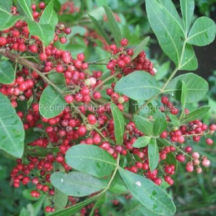 Poivrier du Brésil - Schinus terebenthifolia