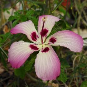 Hibiscus cameronii