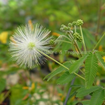Calliandra portoricensis - Calliandra blanc