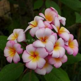 Plumeria rubra 'Thumbalina' - Frangipanier Multi-couleur