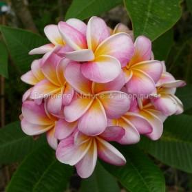 Plumeria rubra 'Divine' - Frangipanier Rose nuancé