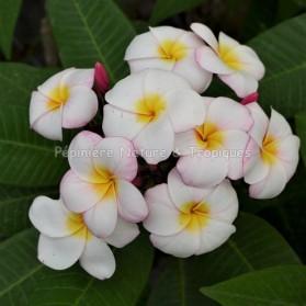 Plumeria rubra 'Mini White' - Frangipanier Blanc