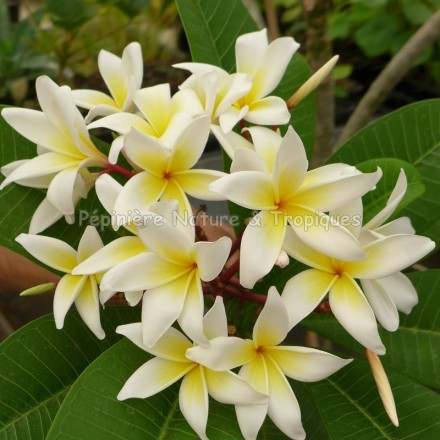 Plumeria rubra 'Ruby Lee' - Frangipanier Blanc