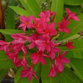 Plumeria rubra 'Tahitian Red' - Frangipanier Rouge