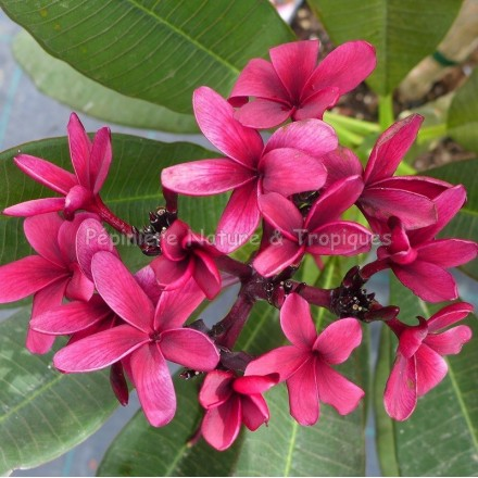 Plumeria rubra 'Bewitched'