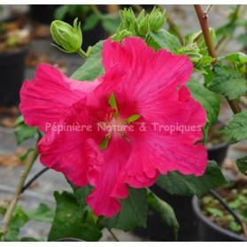 Hibiscus mutabilis 'Rubrum'