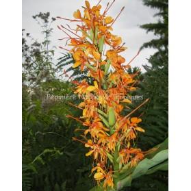 Hedychium coccineum cv. Tara -  Gingembre fleur