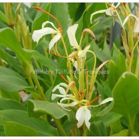 Hedychium yunnanense - Gingembre ornemental