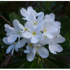Plumeria obtusa tuberculata