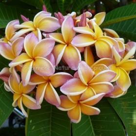 Plumeria x rubra 'California Sunset' - Frangipanier jaune et rose