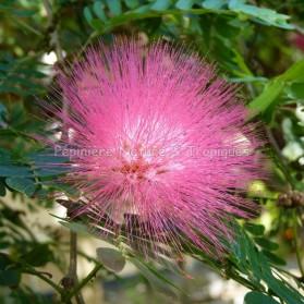 Calliandra Haematocephala 'Rosea'