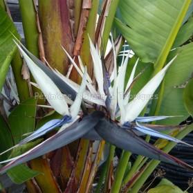 Strelitzia gigantea
