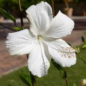 Hibiscus rosa sinensis 'Dainty White'