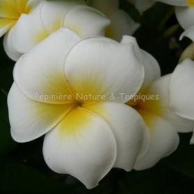 Plumeria rubra 'Grace' - Frangipanier Jaune et Blanc
